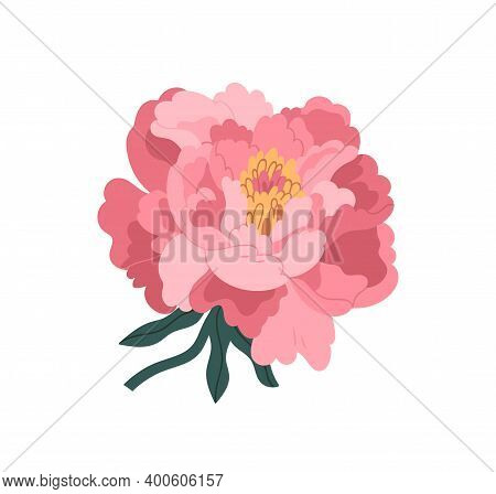 Beautiful Pink Japanese Peony Vector Flat Illustration. Blooming Plant Isolated On White. Romantic S