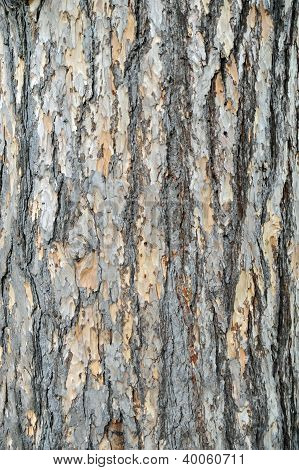 Bark Of A European Larch