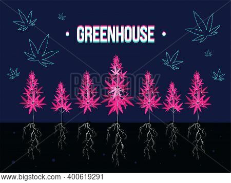 Dark Blue Background Design For Cannabis Greenhouse. Stylized Pink Ganja Bushes With Roots. Hemp And