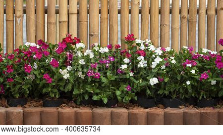 Front View Of Many White And Pink Catharanthus Roseus Flowers Are Blooming In Interlocking Bricks Bl