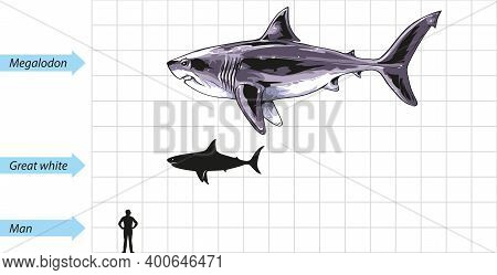 A Scale Diagram Showing The Great White Shark Compared To Size Of Giant Megalodon Shark.