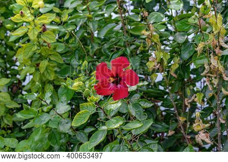 One Bright Red Hibiscus Rosa-sinensis Flower, Isolated On Green Leaves Background. Blooming Stem Of