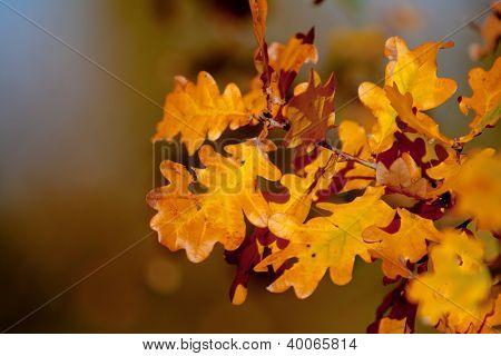 Autumn brunch of oak tree - soft focus