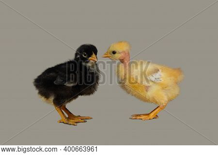 Yellow And Black Chicken Chicks , High Quality Photography, Pets Photography
