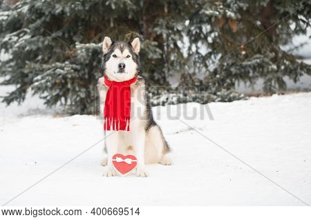 Sitting Alaskan Malamute In Red Scarf With Heart Gift Box. Valentine Day.