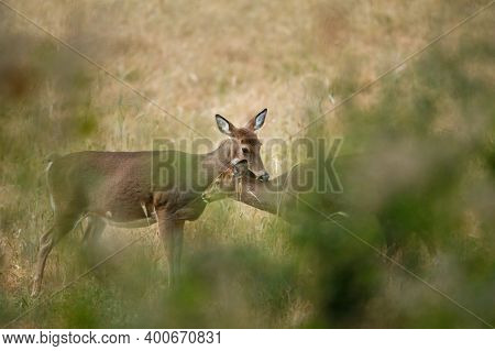 White-tailed Doe (odocoileus Virginianus) Nurturing Her Fawn During Autumn. Natural Frame, Selective