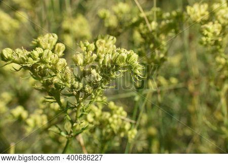Detail Of Rue (ruta Montana) Plant In Mountain.