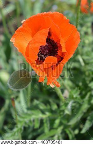 Oriental Poppy Feuerriese - Latin Name - Papaver Orientale Feuerriese