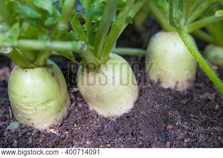 Daikon (mooli) Radish, Mooli Kumbong. Also Known As White Radishes Or Chinese Radish. Root Vegetable