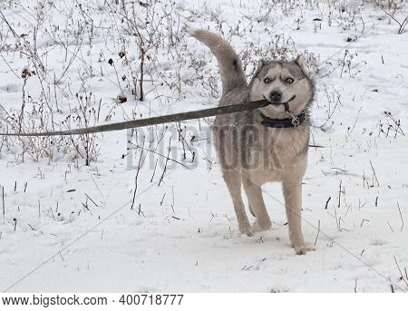 Gray Dog With Bulging Blue Eyes Indulges And Gnaws At The Leash
