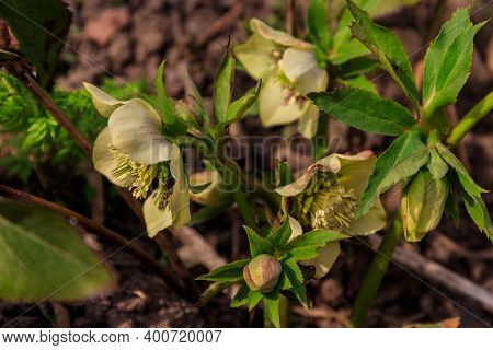 Green Hellebore Flower On Flowerbed In Garden