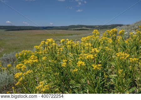 Mountain Goldenrod Wildflowers In Front Of Yellowstone Wilderness In Summer
