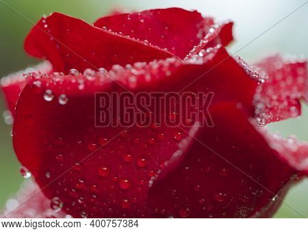 Background With Large Red Rose Petals In Dew Drops. Very Beautiful Rose With Bright Open Petals And