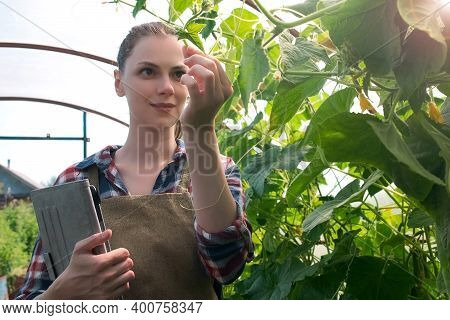 Agronomist Woman Conducts Inspection Of Growing Cucumbers In Greenhouse And Puts Indicators In Table