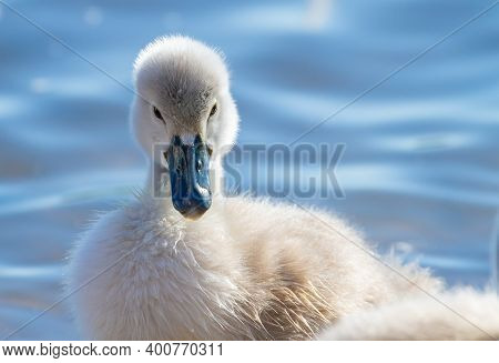 Mute Swan, Cygnus Olor. Chick Swims On The River, Close-up