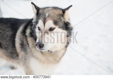 Alaskan Malamute In Winter Forest. Close Up Portrait. Side View.
