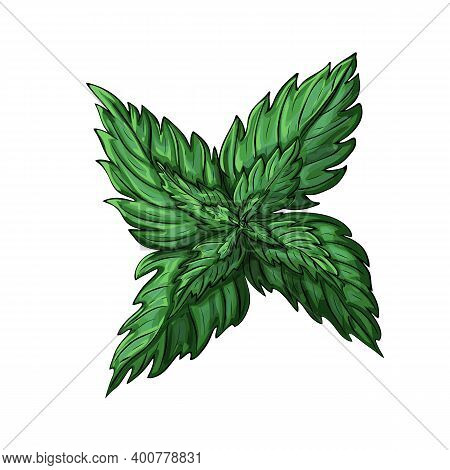 Green Mint Leaves Isolated On White Background. Colored Sketch Of Mint Branch. Vector Illustration O