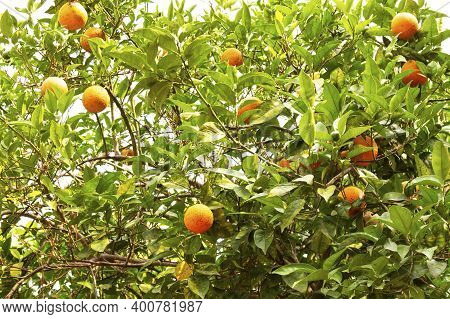 Orange Tree Fruit Of Oranges On The Branches Of A Tree In The Garden