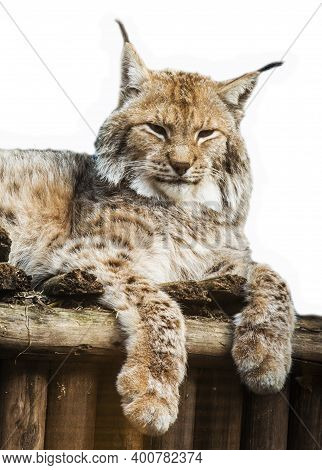 A Large Lynx Is Lying On A Wooden Shelf. The Eurasian Lynx Is A Large Mammal Of The Cat Family