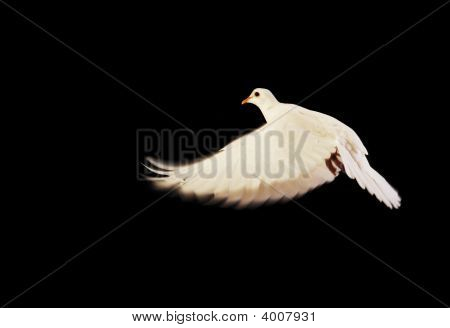 flying white dove isolated on black background poster