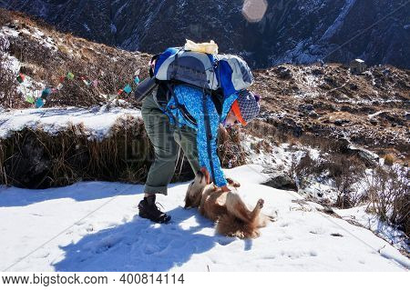 A Young Woman With A Large Backpack Strokes A Ginger Dog While Hiking In The Himalayan Range In Wint