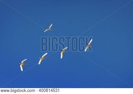 Flock Of Swans Flying Through Blue Sky. Swan Flock Flying In Blue Sky. Migratory Birds Fly In The Cl