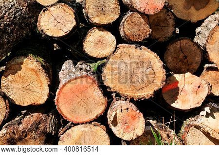 Trunks Of Trees Piled In Forest, Close Up. Wood Industry. Pile Of Wood. Texture Of Wood. Trunks Of T