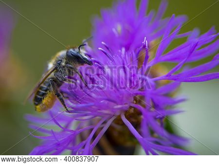 Bee Collects Pollen From A Flower Close-up. Macro Shot Of A Bee On A Purple Flower. Bee On A Flower
