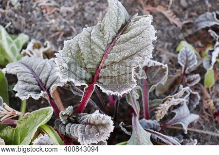 Frozen Leaves Of Mangold With Red Leaves. The First Frosts, Cold Weather, Frozen Water, Frost And Ho