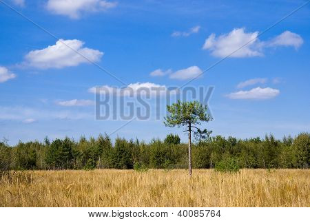 Dry Meadow In Front Of A Pine Forest