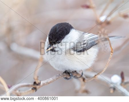 Cute Bird The Willow Tit, Song Bird Sitting With Seed On A Branch Without Leaves In The Winter. Will
