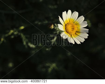 Closeup Of A Camomile Daisy Flower. Marguerite Flower.