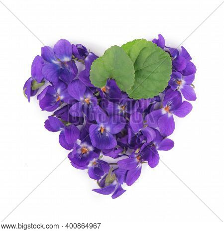Green Leaf And Flowers Of Wood Violet Viola Odorata Isolated On White Background. Medicinal And Gard