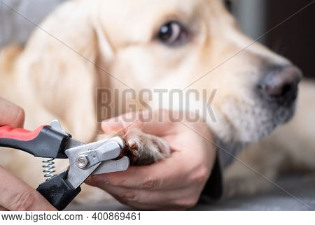 A Man's Hand Cuts The Claws Of A Dog. Golden Retriever Does Not Like To Cut Claws