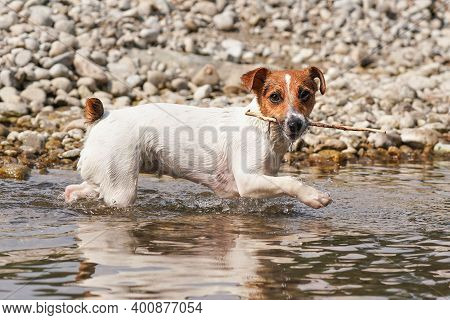 Small Jack Russell Terrier Walking Near Shallow River Shore, Exploring Water And Wet Stones, Carryin