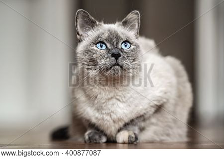 Older Gray Cat With Piercing Blue Eyes, Laying On Wooden Floor, Closeup Shallow Depth Of Field Photo