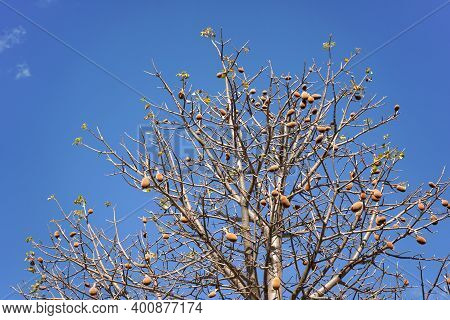 Looking Up The Baobab Tree, Only Few Leaves, But Some Fruits On Branches, Against Clear Blue Sky