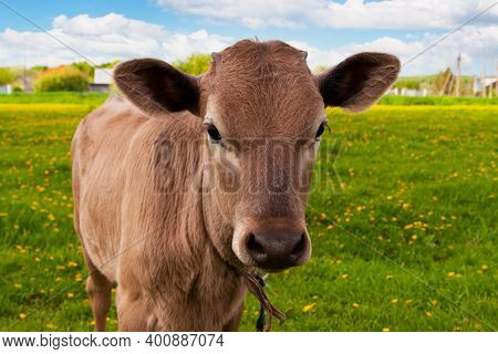 The Calf Looks Into The Camera. The Calf Is The Symbol Of The Bull Of 2021. A Small Calf Grazes In A