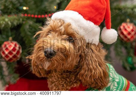 Cavapoo Dog With Christmas Clothes, Dog Christmas Concept, Mixed -breed Of Cavalier King Charles Spa