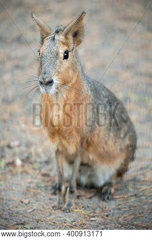 Patagonian Mara (dolichotis Patagonum) Is A Relatively Large Rodent In The Mara Genus (dolichotis).