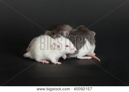 Very Small Young Rats