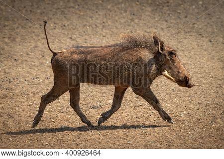 Common Warthog Crosses Stony Ground In Sunshine