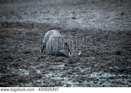Common Warthog Kneels In Mud Eyeing Camera