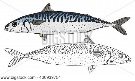 Beautiful Atlantic Mackerel Hand Drawn. Set, Colorful Fish And Black And White, Isolated. Seafood, D