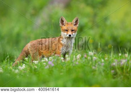 Young Red Fox Standing On Meadow In Summertime Nature