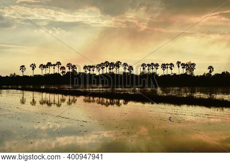 Silhouette Sugar Palm Tree On Sunset Sky In Paddy Field