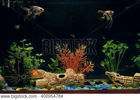 Aquarium With Different Domestic Neon Fishes (neon Fish, Freshwater Angelfish) And Ancistrus Sucker