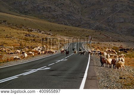 Russia. South Of Western Siberia. Gorny Altai. A Herd Of Domestic Goats And Sheep Slowly Wander Alon