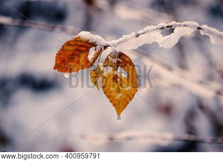 A Leaves In Winter Time. Snowing, Beskydy Mountains.