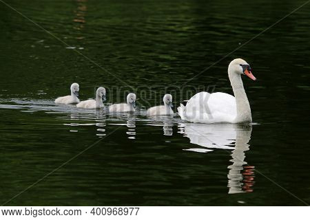 Swan And Cygnets Reflected Swimming In A Lake